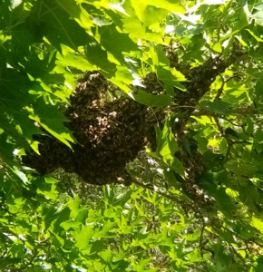 My bees swarming in the maple tree